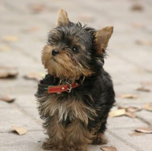 Teacup Yorkie on a sidewalk
