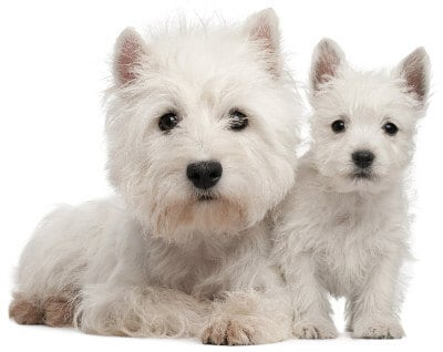 West Highland White Terrier Is Your Bestie A Westie Terribly Terrier