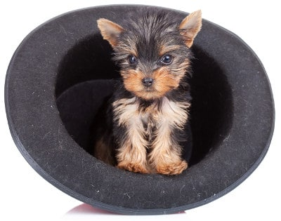 Mini yorkshire terrier standard