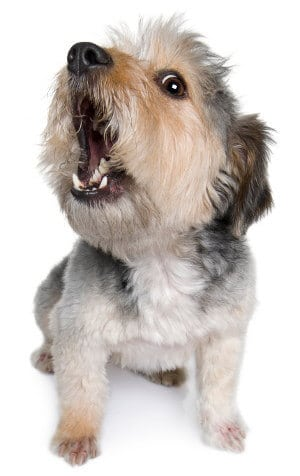 Picture of mixed breed dog barking
