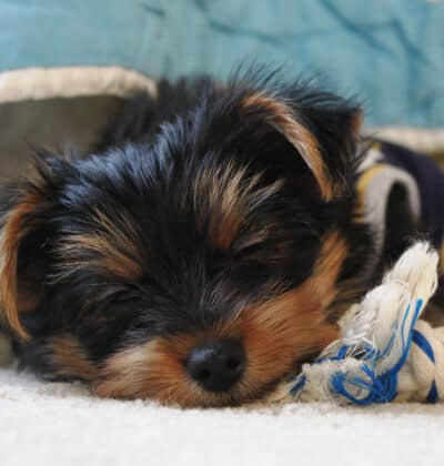 Closeup of a Yorkshire Terrier sleeping