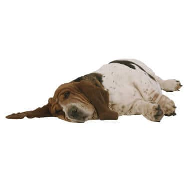 Sleeping Basset Hound isolated on white