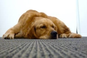 Lab sleeping on carpet
