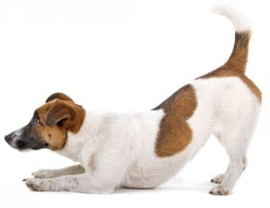 Jack Russell Terrier play bowing