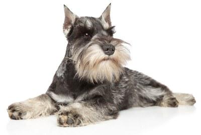 miniature schnauzer the uber terrier