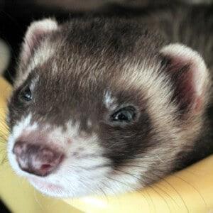 Closeup of a ferret
