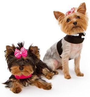 Yorkshire Terrier The Original Foo Foo Dog