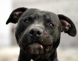 Picture of a Pit Bull looking at the camera