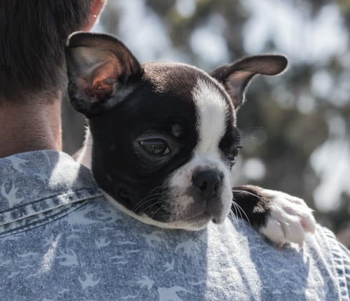 A sweet Boston Terrier puppy being held by its owner