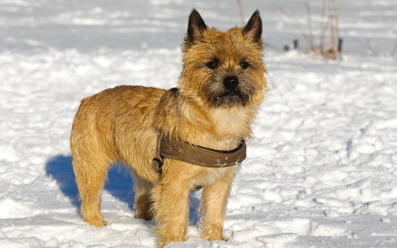Young Cairn Terrier dog standing in the snow