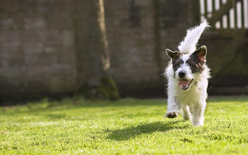 Jack Russell Terrier running toward the camera
