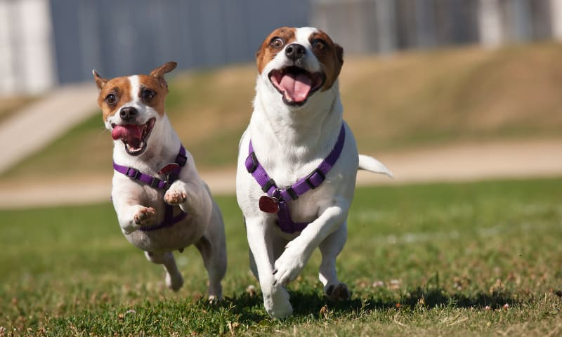 A pair of Jack Russell Terriers running with abandon
