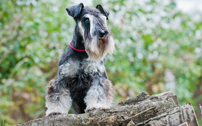 Miniature Schnauzer looking perched on a fallen tree
