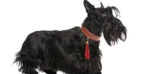 Scottish Terrier: Monopolizing Attention with its Iconic Looks