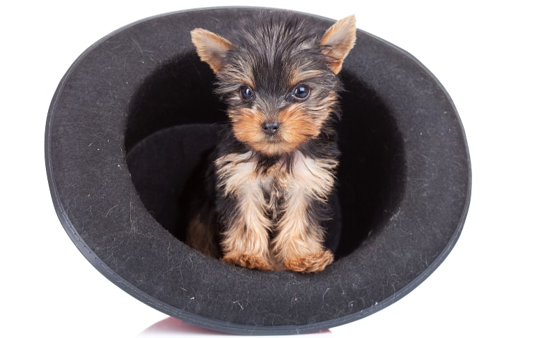 Adorable teacup yorkie in a top hat
