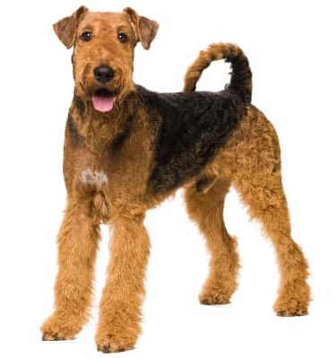 An airedale terrier, one of many terrier dog breeds