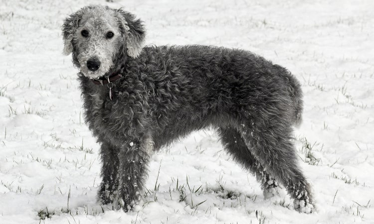 Picture of a Bedlington Terrier dog