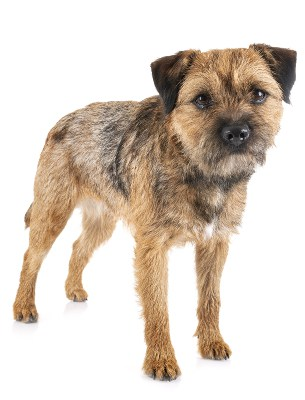 Picture of a Border Terrier dog