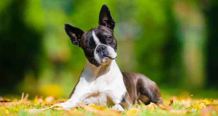 A Boston Terrier laying on the ground in fall