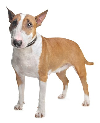 Picture of a brown and white Bull Terrier
