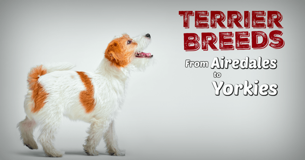 Facebook image for Terribly Terrier guide to terrier breeds