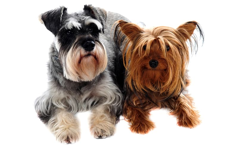 A Miniature Schnauzer and Yorkshire Terrier lying side by side