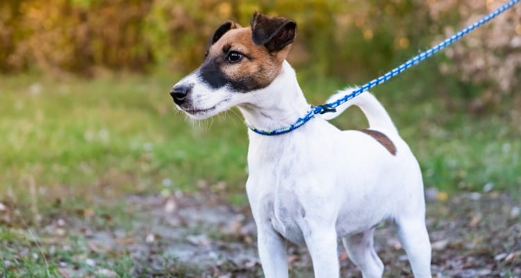 Photo of a Smooth Fox Terrier on a leash