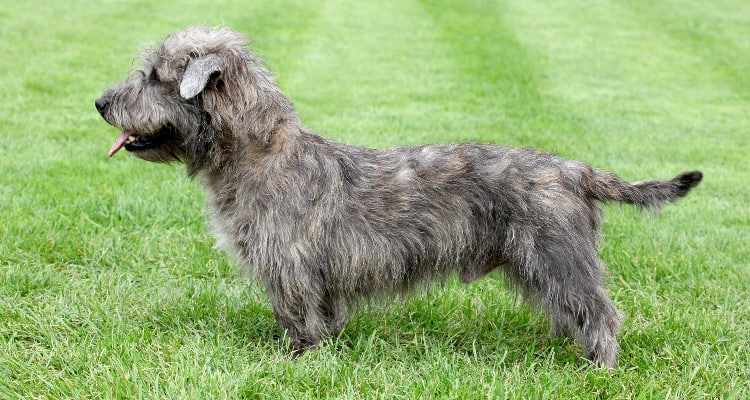 Photo of a Glen of Imaal Terrier