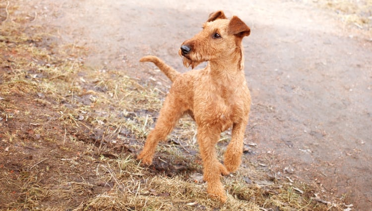 Photo of an Irish Terrier dog