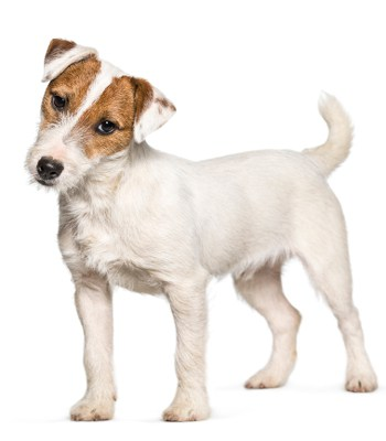 Photo of a young Jack Russell Terrier