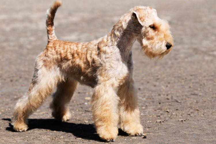 Photo of Lakeland Terrier dog