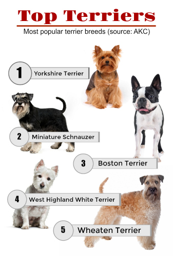 Graphic showing the most popular terrier breeds