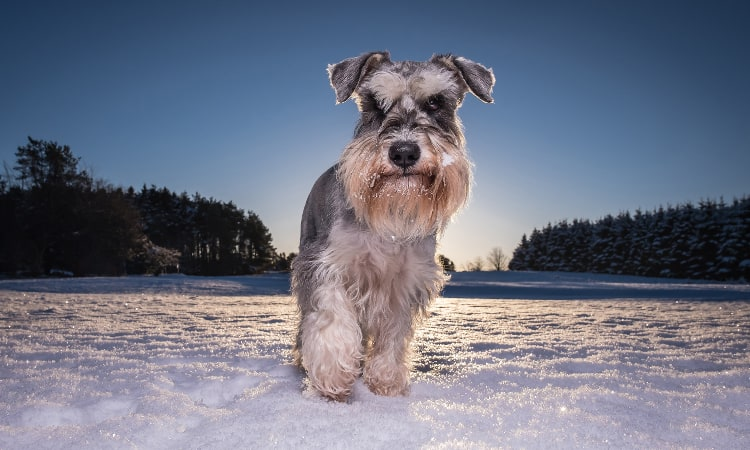 Closeup of a Miniature Schnauzer walking in snow
