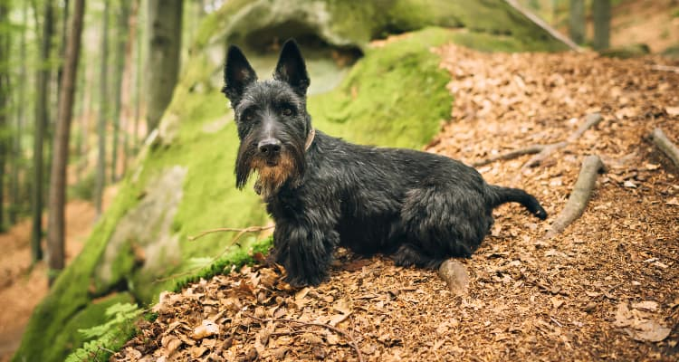 Photo of a Scottish Terrier in the woods