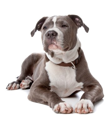 Photo of a Staffordshire Bull Terrier