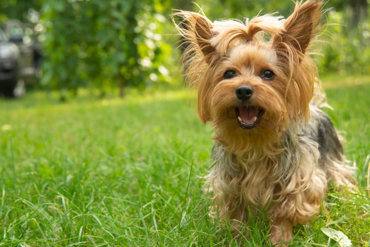 Photo of a Yorkshire Terrier dog in the grass