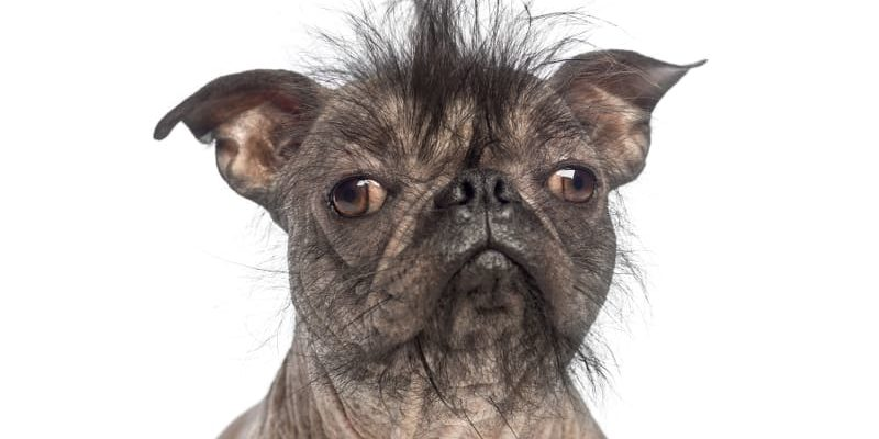 What's the Ugliest Dog Breed? Here Are Five Contenders