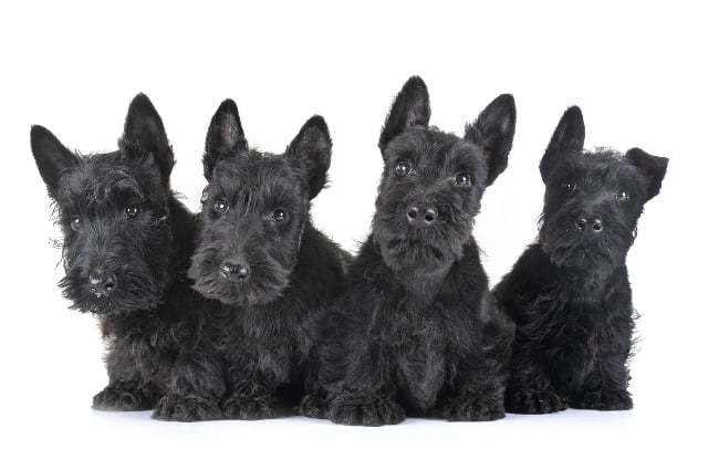 Four Scottish Terrier puppies on a white background, looking intently at the camera