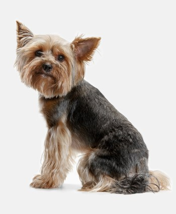 Cute Yorkshire Terrier from the side